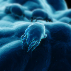 Dust mite allergies: Dust mites are a mere 0.1 to 0.5 millimeters in size.